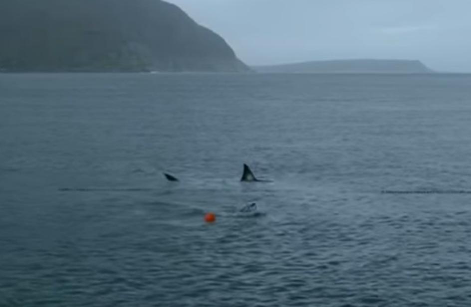 Phelps sfida lo squalo bianco, ma…