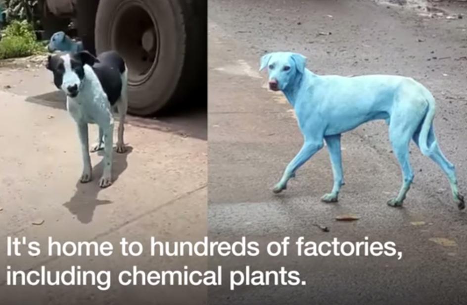Perché in India alcuni cani sono diventati blu