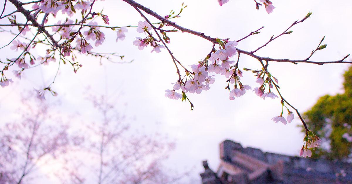 Giappone: lo spettacolo della fioritura dei ciliegi