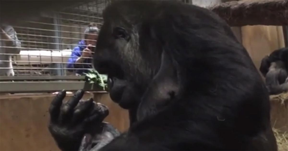 La commovente reazione di una gorilla al Washington National Zoo dopo il parto