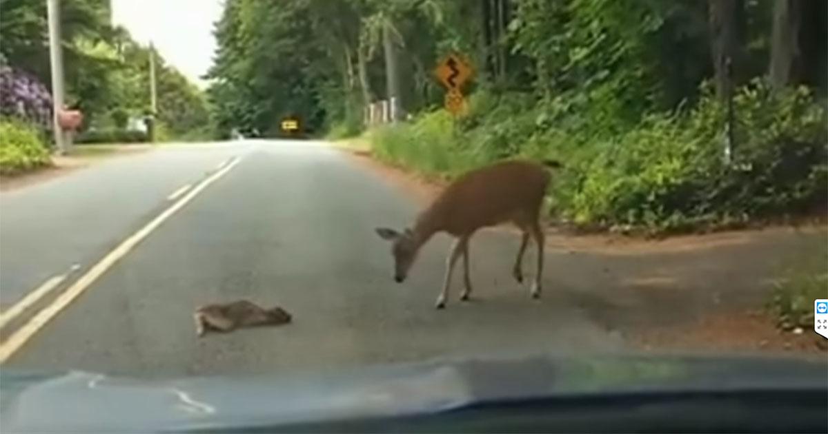 Il cucciolo di cerbiatto è terrorizzato: poi, arriva la sua mamma