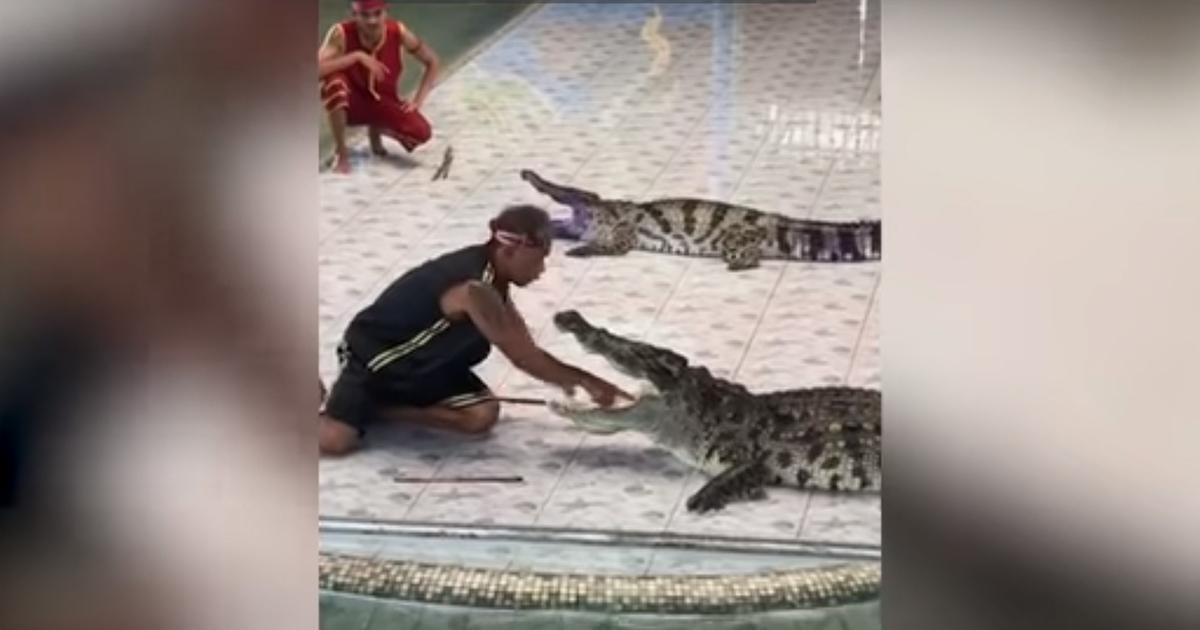 Brividi: il coccodrillo morde il suo addestratore durante il numero