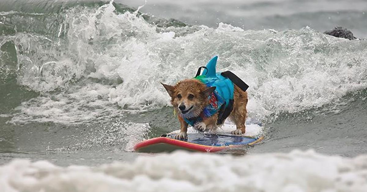 Il corgi surfista tutto da ridere