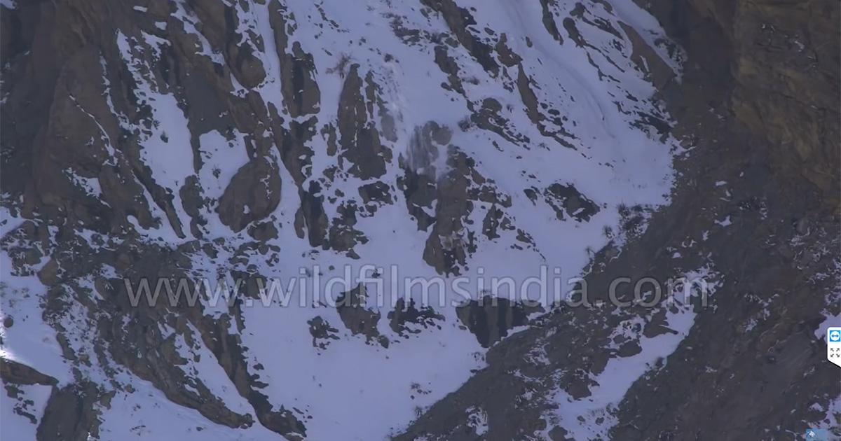 Caccia acrobatica per il leopardo delle nevi