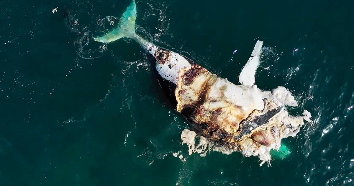 Il drone riprende la ferocia degli squali tigre contro la carcassa di una balena