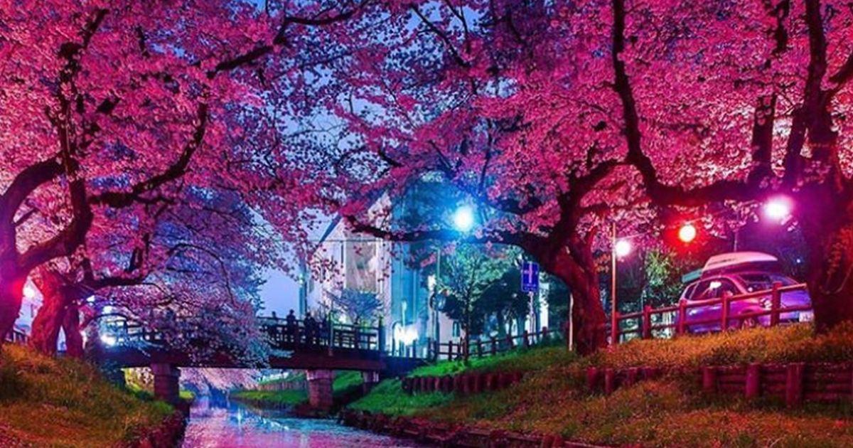 Primavera in anticipo in Giappone: ecco la straordinaria fioritura dei ciliegi