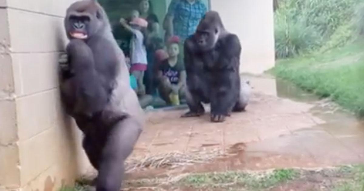 Il curioso comportamento dei gorilla, quando c'è un temporale, in questo video