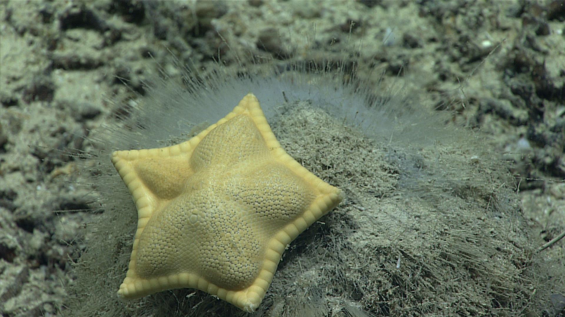 È stata scoperta una stella marina a forma di raviolo