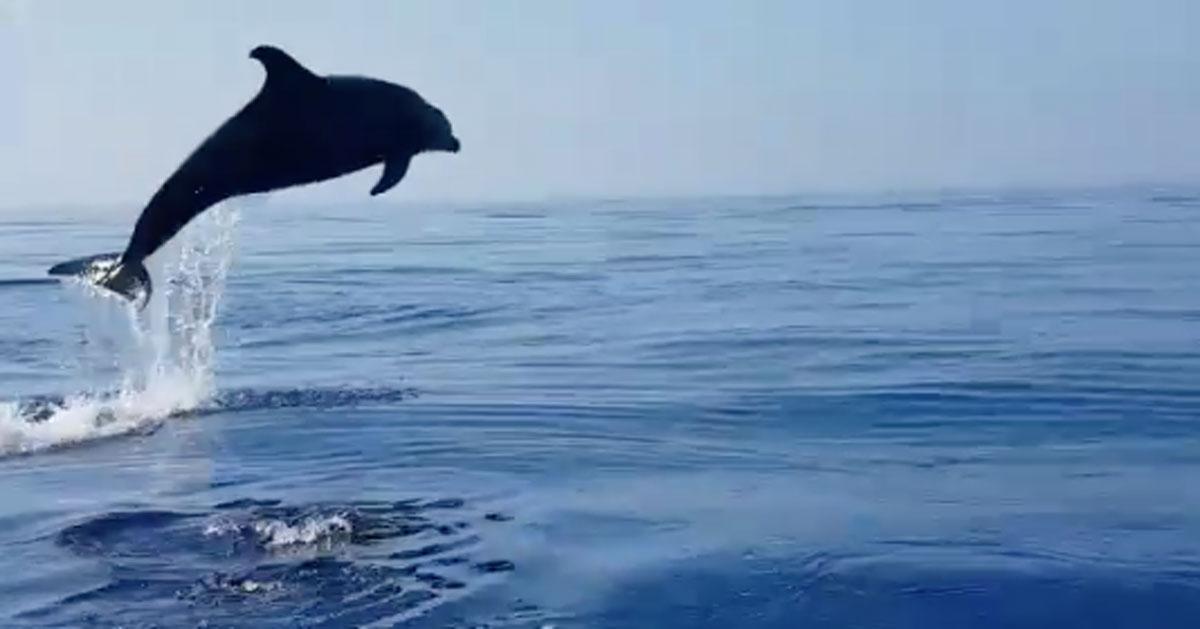 La mamma delfino fa dei salti spettacolari quando liberano il suo cucciolo: un video emozionante
