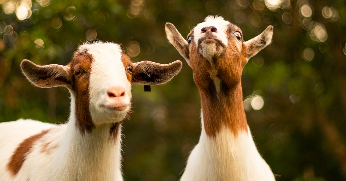 A Stoccolma si pratica yoga con le capre perché trasmettono calma