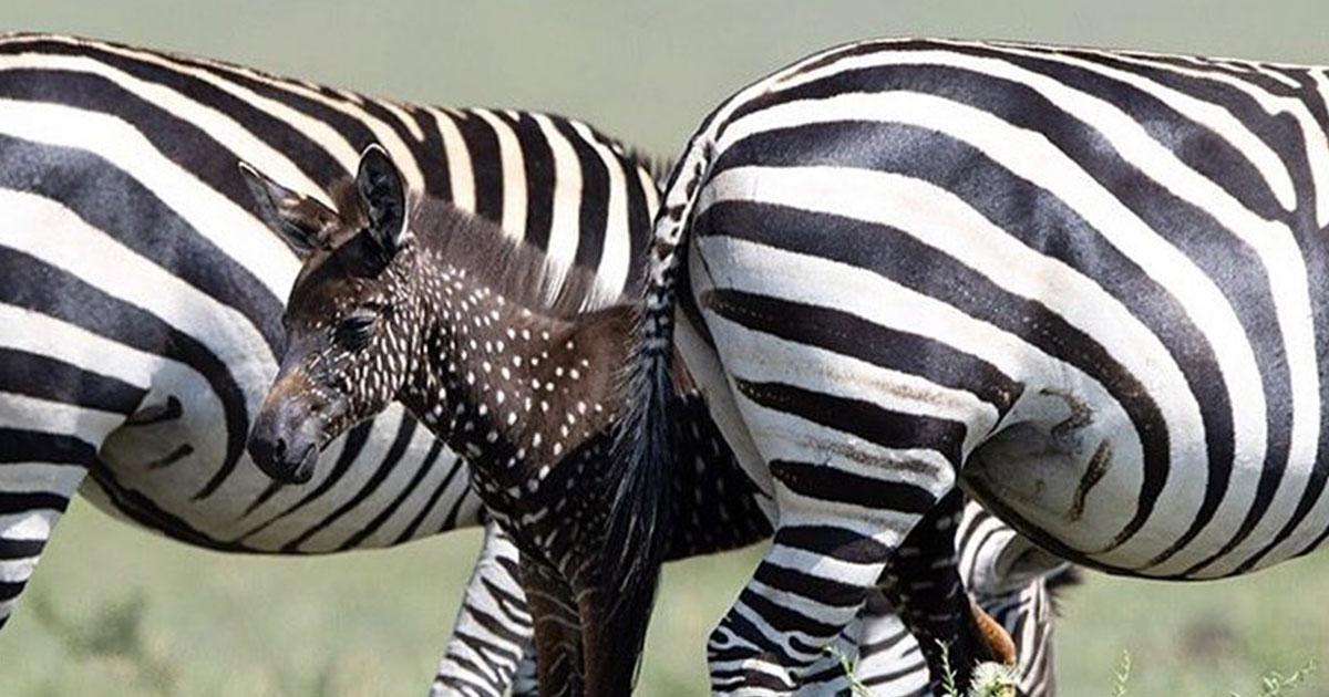 E' stata avvistata la 'zebra a pois': esiste davvero