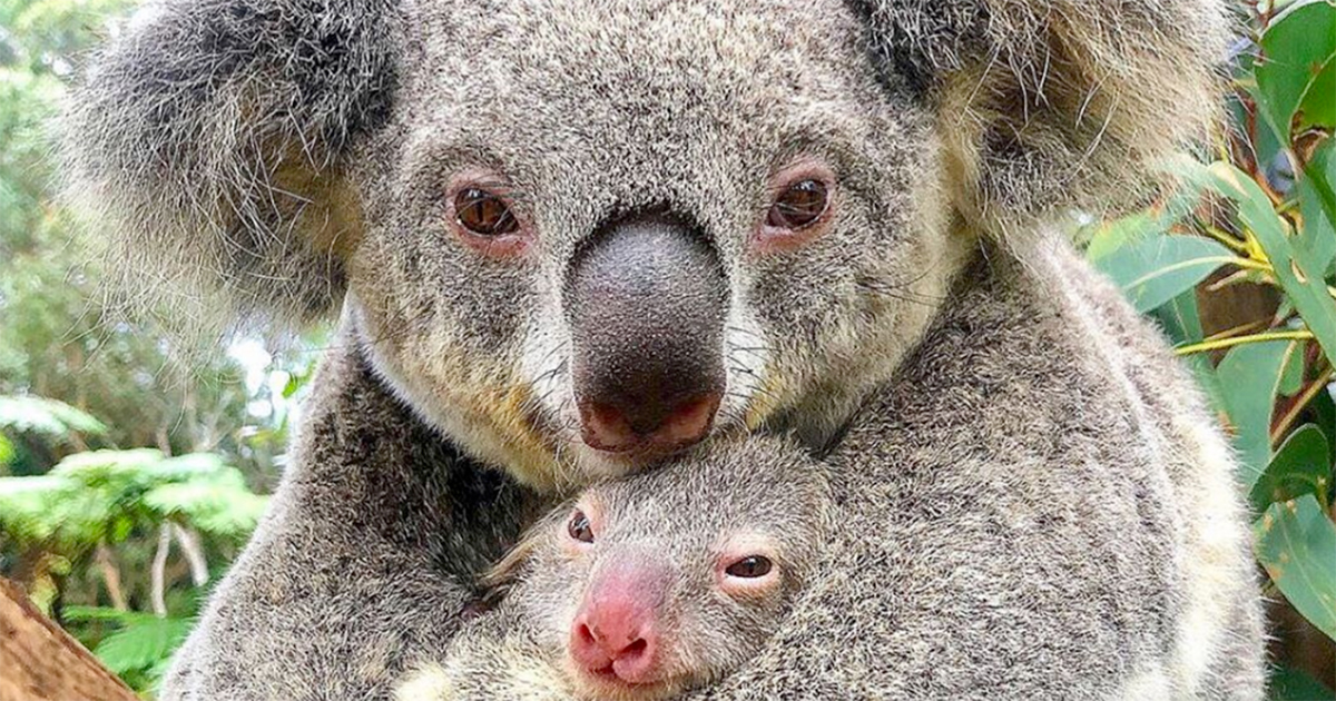 Mamma Koala e il suo cucciolo: l'abbraccio d'amore che cambia la nostra prospettiva