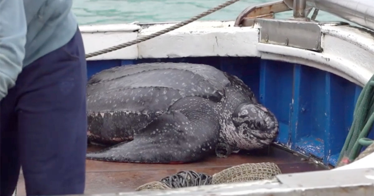 Adriatico: pescata una delle tartarughe più grandi al mondo!