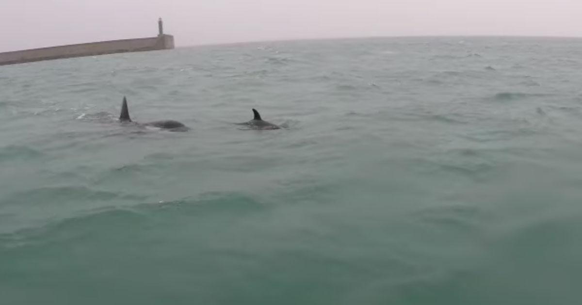 Un famiglia di orche nuota nel porto di Genova: ecco il video