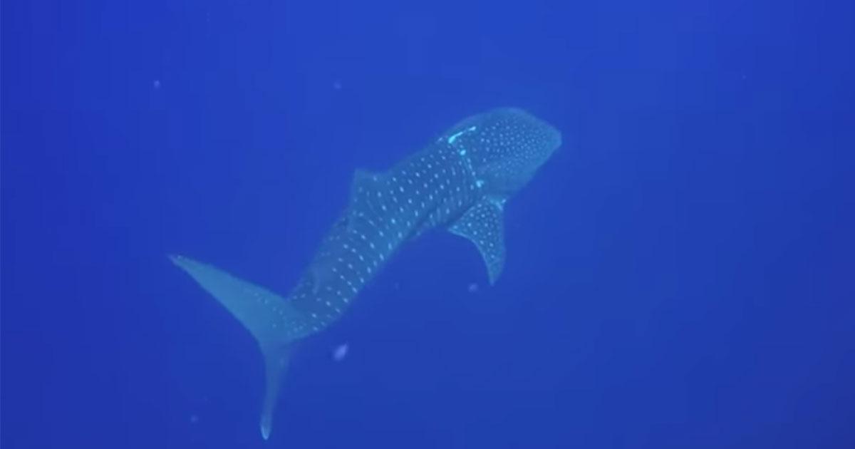 Lo straordinario incontro con lo squalo più grande al mondo