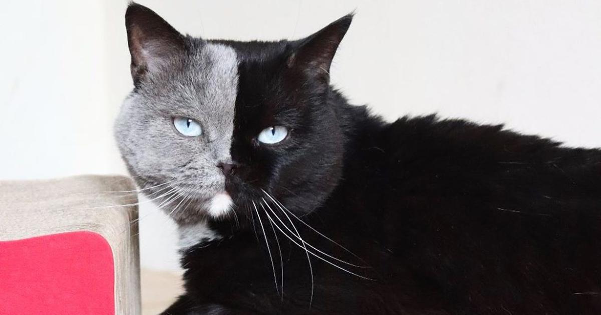 La gattina con il muso bicolore ha dato alla luce due cuccioli, uno per tinta