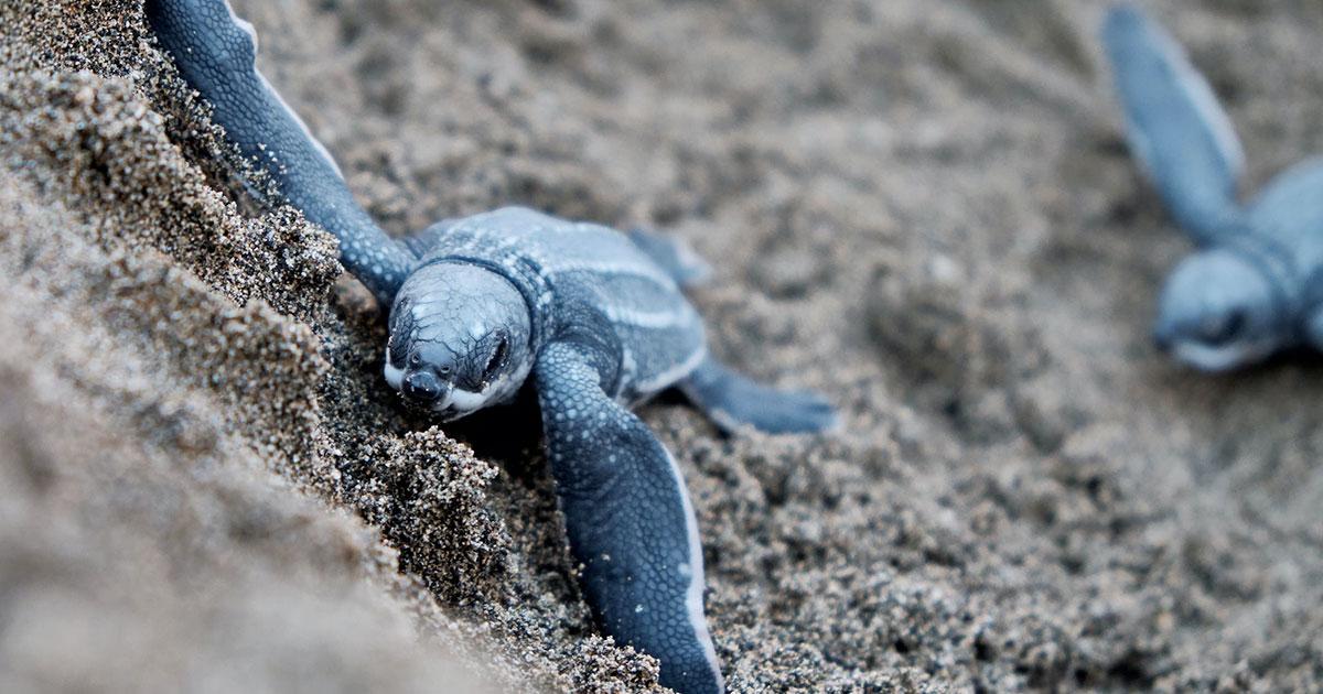 A Torvaianica stanno per schiudersi le uova di tartaruga Caretta caretta: l'evento sarà trasmesso in diretta