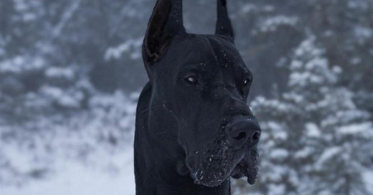 Lui è Enzo, il (super) alano che assomiglia al famoso supereroe: Batman