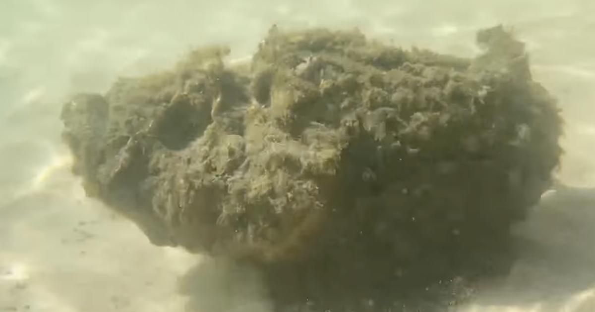 Avvistato pesce pietra, il più velenoso al mondo