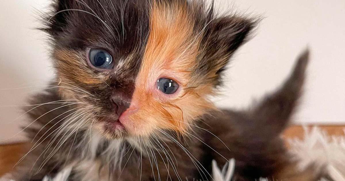 Vi presentiamo Apricot, la dolcissima gattina chimera che ha conquistato tutti