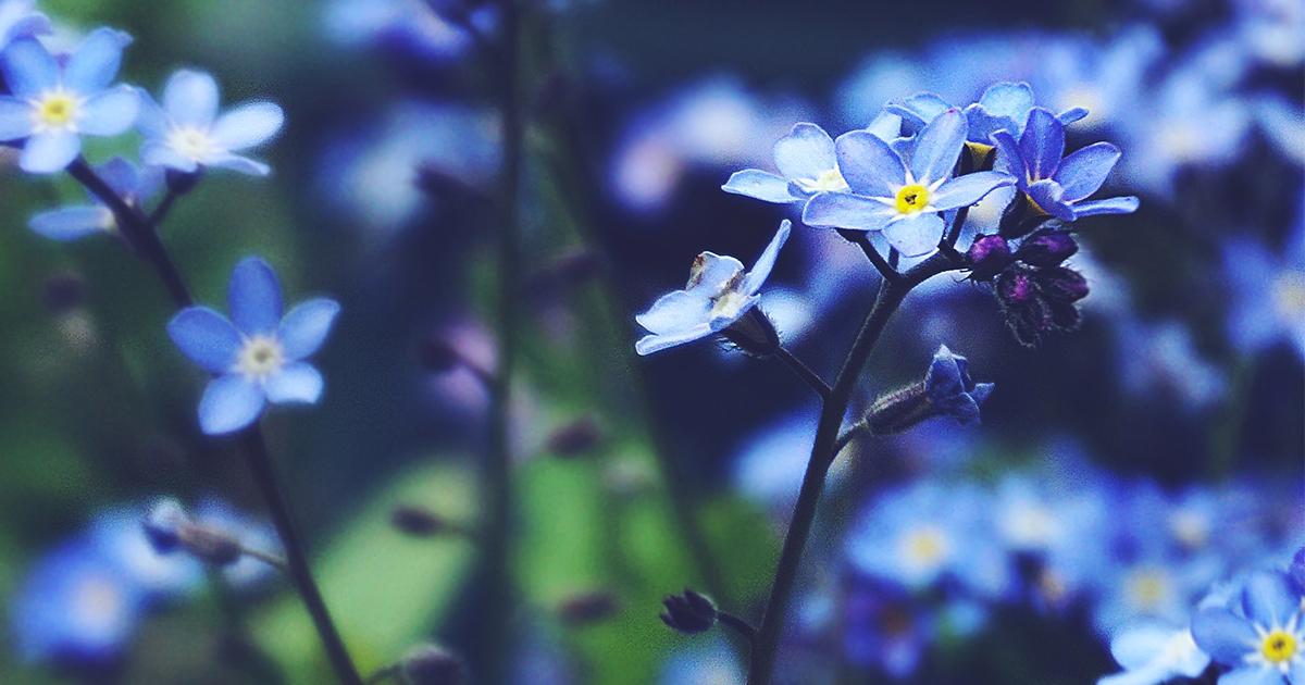 Quali fiori piantare ora per avere un davanzale blu a Ferragosto