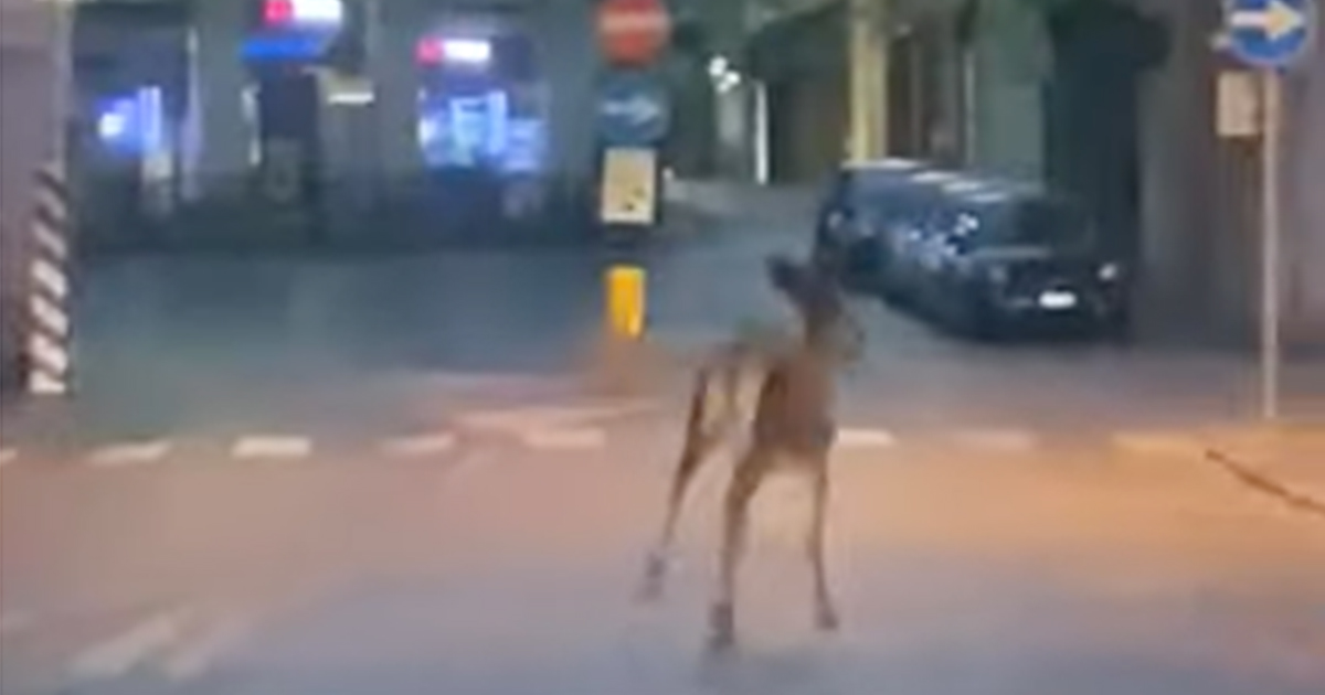 A spasso per la città: il video di un capriolo nel centro di Treviso