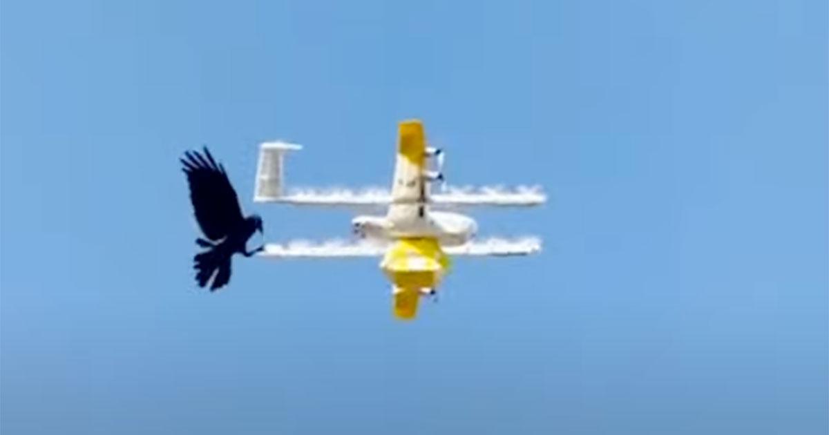 Il drone che consegna i pacchi viene attaccato dalla cornacchia: la natura ha la meglio