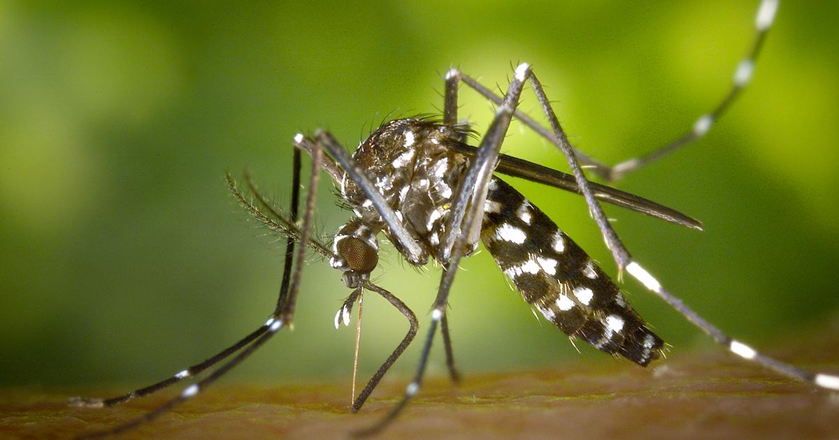 La zanzara giapponese è arrivata in Italia: ecco come riconoscerla